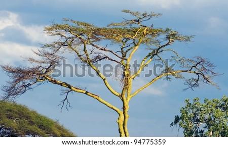The lofty trees in Serengeti National Park - Tanzania - stock photo