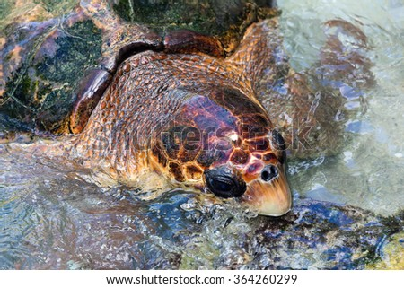 The loggerhead sea turtle (Caretta caretta) is an oceanic turtle distributed throughout the world. It is a marine reptile, belonging to the family Cheloniidae.