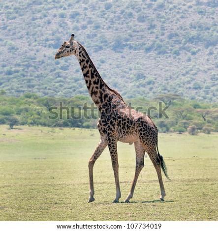 the lone male maasai giraffes in Crater Ngorongoro National Park - Tanzania - stock photo