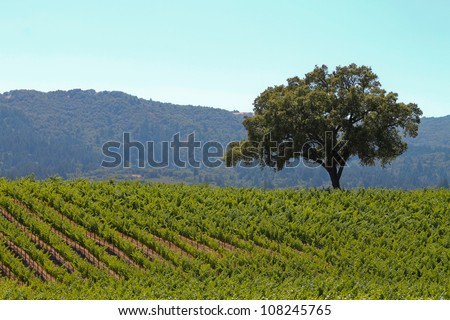 The Lone Oak, horizontal orientation of green vineyards and lone oak tree with rolling hills in the background - stock photo