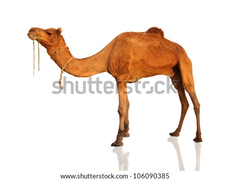 The lonely domestic camel isolated on white.
