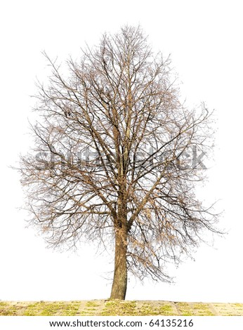 The lonely isolated on white autumn Linden tree without leaves