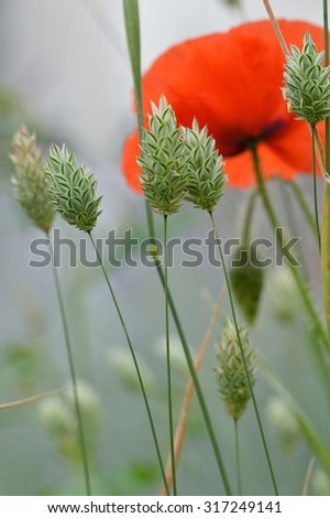 The long stems and seed heads of canary grass (Phalaris canariensis) in a misty field with a heavenly facing ethereal red Flanders poppy flower (Papaver rhoeas).    - stock photo