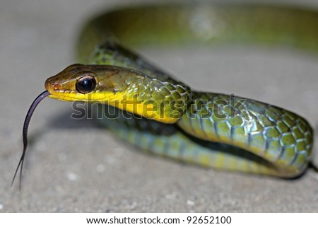 The Long-tailed Machete Savane (Chironius multiventris) flicks its tongue and rears up defensively in the Peruvian Amazon - stock photo