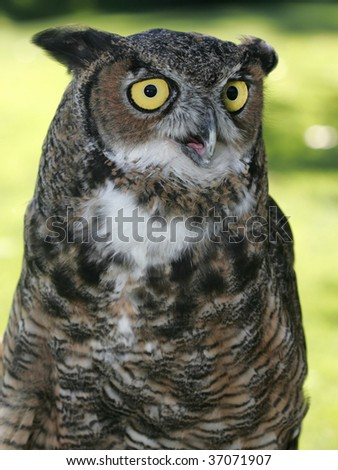 The look of a great horned owl. - stock photo