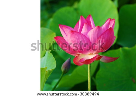 the lotus - stock photo