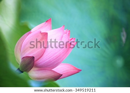 The Lotus flower and Lotus flower plants - stock photo