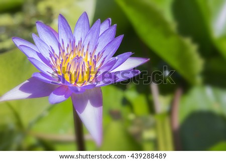 The lotus flower blooming in the pond.Purple lotus flower blooming in the pond.The purple water lily in the pond with the sun light. - stock photo