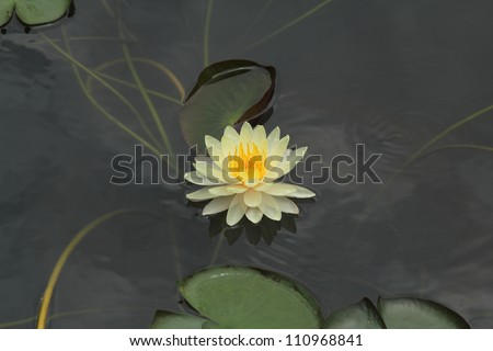 The lotus flower in the peaceful pond - stock photo