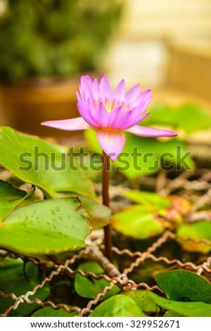 Lotus flower represents peace stock photo royalty free 329952671 the lotus flower represents peace mightylinksfo