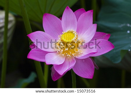 The lotus flowers in the morning after rain,blooming lotus flower of pink color over dark background - stock photo