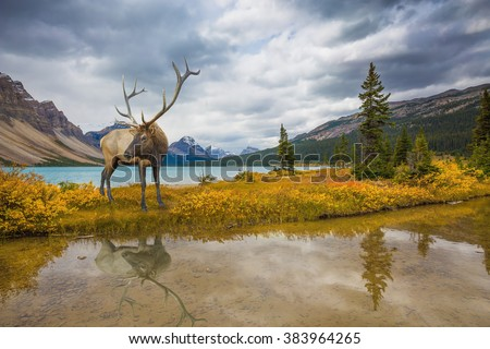 "The lush colorful ""Golden Autumn"" in the Rocky Mountains of Canada. Wonderful antlered deer on the shore of cold lake"