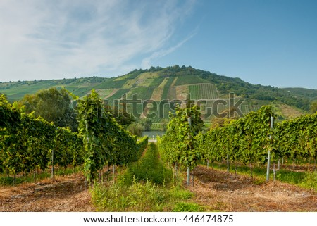 The lush green rows of grapes. Beautiful vineyard landscape in Germany. In the background a hill with a beautiful landscape. The Moselle wine region. Riesling grapes. - stock photo