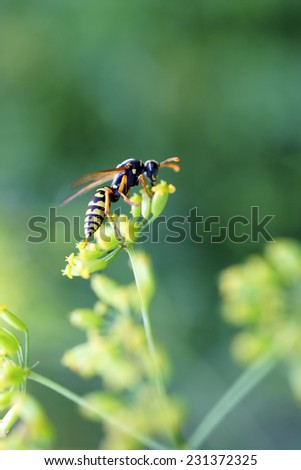 The macro closeup of a wasp on a flower umbel / The wasp - stock photo