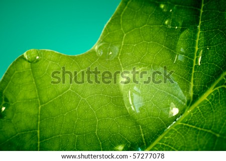 The macro shot of water drops on oak leaf. - stock photo