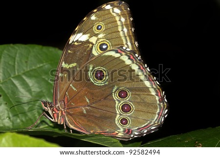 The magnificent Helenor Morpho (Morpho helenor) in the Peruvian Amazon Isolated with space for text - stock photo
