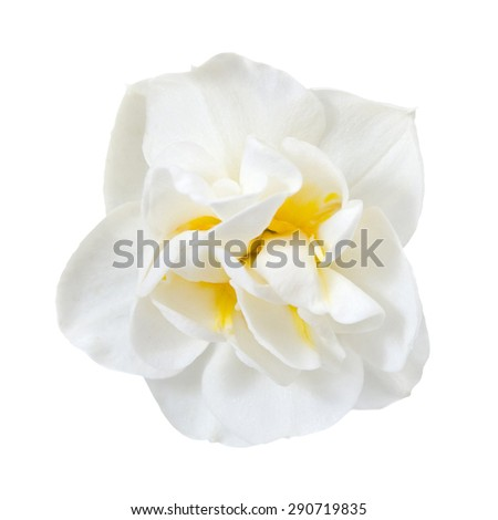 the magnificent narcissus is isolated on the white - stock photo
