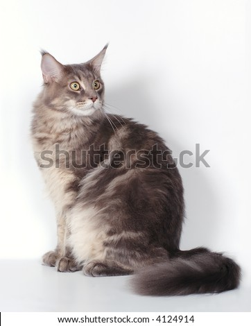 The Maine coon cat - stock photo