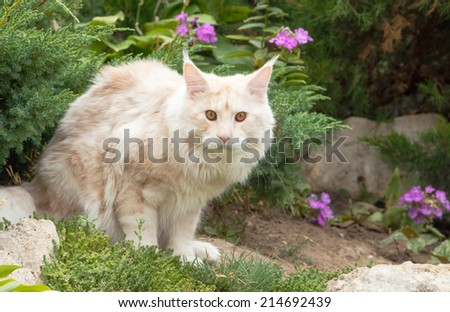 The Maine Coon in garden.American Longhair, is the biggest domesticated breed of cat with a distinctive physical appearance and high level hunting skills.