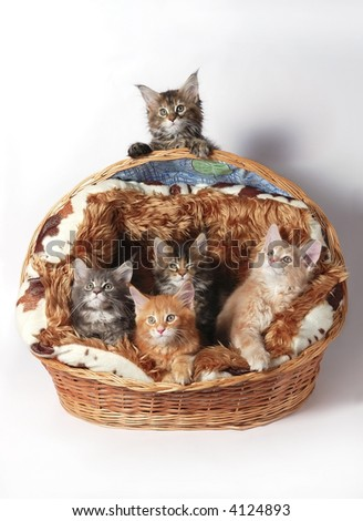 The Maine coon kittens - stock photo