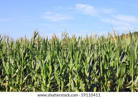 The maize Field with blue cloudy Sky