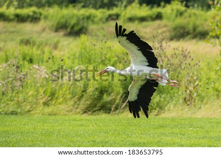 The majestic stork in flight with its wings wide spread. Storks are widely associated with delivering babies and bringing good luck. - stock photo