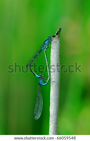 The male and female dragonflies are coupled - stock photo