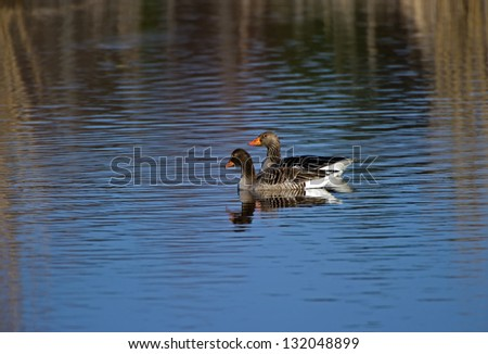 The male and female Greylag Goose on a blue watersurface framed by reflections of the yellow reed in Uppland, Sweden - stock photo