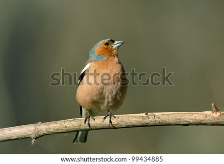 The male Chaffinch on a branch. Fringilla coelebs - stock photo