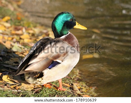 The male duck drake. - stock photo