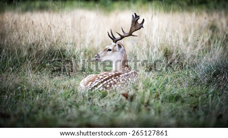 The male fallow deer (Dama dama, known as a buck) is resting in the wild surrounded by a thick bush.The deer has white, grey and brow thick fur with white spots. It has a pair of dark brown antler. - stock photo