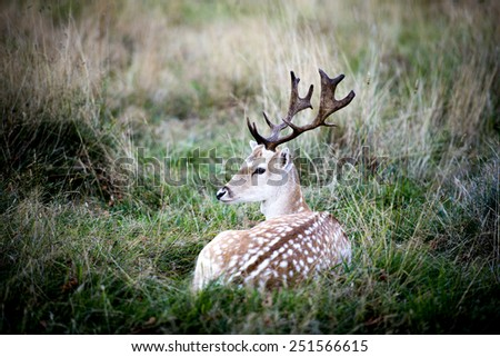 The male fallow deer is known as a buck, the female is a doe, and the young a fawn. - stock photo
