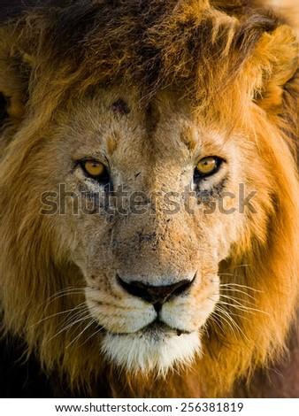 The male lion. Portrait of a lion close-up. Kenya. - stock photo