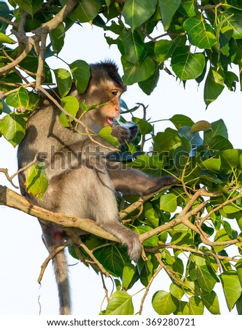 The male monkey search for tick in head of female monkey.