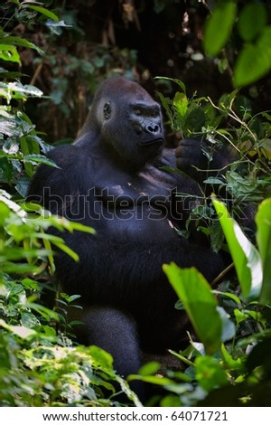 The male of a gorilla eating leafs. A native habitat. Congo - stock photo
