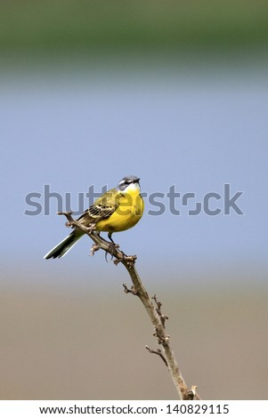 The male of a yellow wagtail sings on a dry branch near a nest