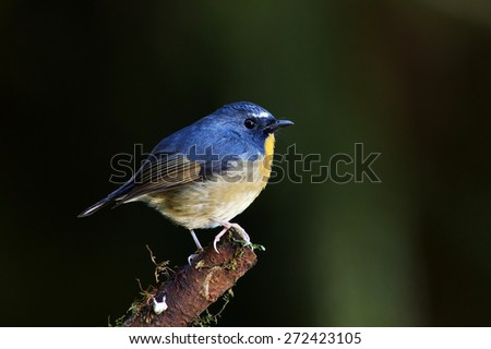 The male of Snowy-browed Flycatcher (Ficedula hyperythra) is a species of bird in the Muscicapidae family. It is found in doi Inthanon national park, Thailand. - stock photo