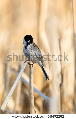 The male of the Reed Bunting, Emberiza schoeniclus.
