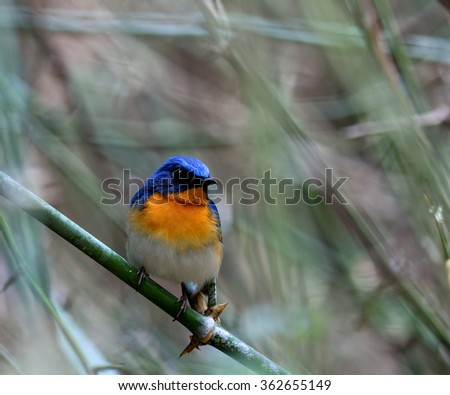 The Male of Tickell's blue flycatcher (Cyornis tickelliae) beautiful blue bird perching on the bamboo stick showing it orange and white chest feathers