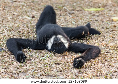 The male of White cheeked gibbon in relaxing position - stock photo