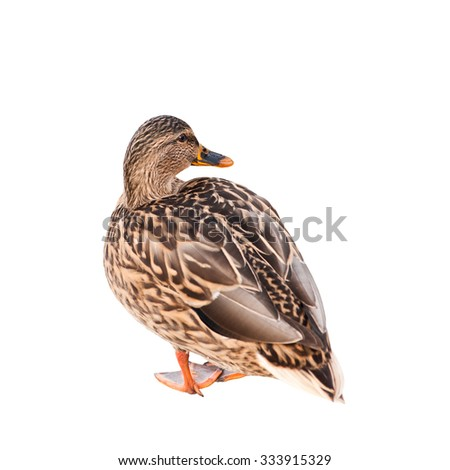 The mallard or wild duck (Anas platyrhynchos), isolated on white background