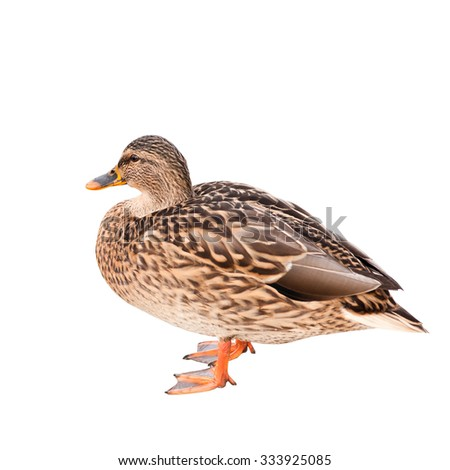 The mallard or wild duck (Anas platyrhynchos), isolated on white background - stock photo