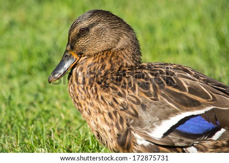 The Mallard or Wild Duck is a dabbling duck which breeds throughout the temperate and subtropical Americas, Europe, Asia, and North Africa. This duck belongs to the waterfowl family Anatidae. - stock photo