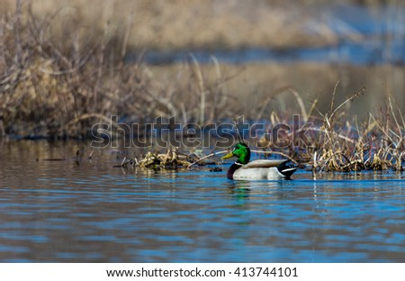 The mallard or wild duck is a dabbling duck which breeds throughout the temperate and subtropical Americas, Europe, Asia, and North Africa, and has been introduced to New Zealand, Australia, Peru. - stock photo