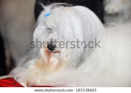 The Maltese is a small breed of dog in the Toy Group. It descends from dogs originating in the Central Mediterranean Area. The coat is long and silky and lacks an undercoat. - stock photo
