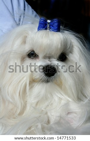 The Maltese lap dog. Exhibition of thoroughbred dogs in June, 2008, Russia.