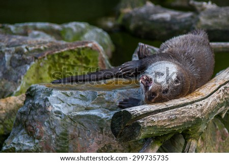 The mammal otter swimming in water played