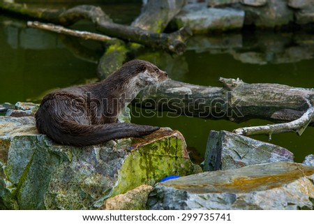 The mammal otter swimming in water played - stock photo