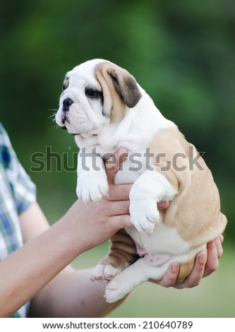 the man holds in hand of an puppy English bulldog - stock photo