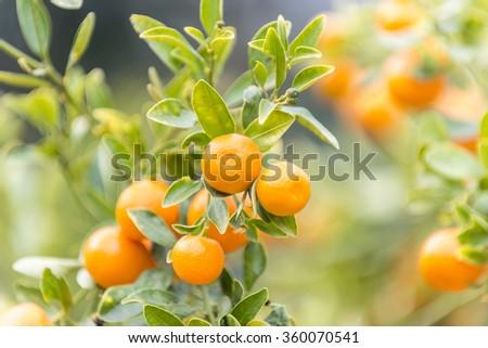 The mandarin orange (Citrus reticulata) in the botanic garden of the Valencia University.  - stock photo